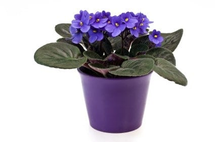 The African Violet houseplant