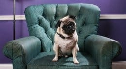 dog on chair 260p