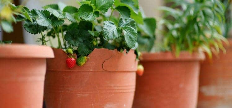 strawberries-mnstudio-original