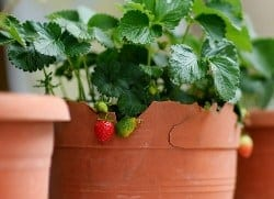 strawberries-MNStudio-original-thumbnail
