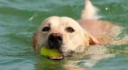 labrador in water 260p