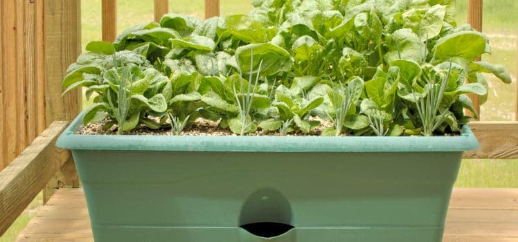 Lettuce And Spinach Both Grow Well In Containers Making Them Perfect For Your Apartment Balcony