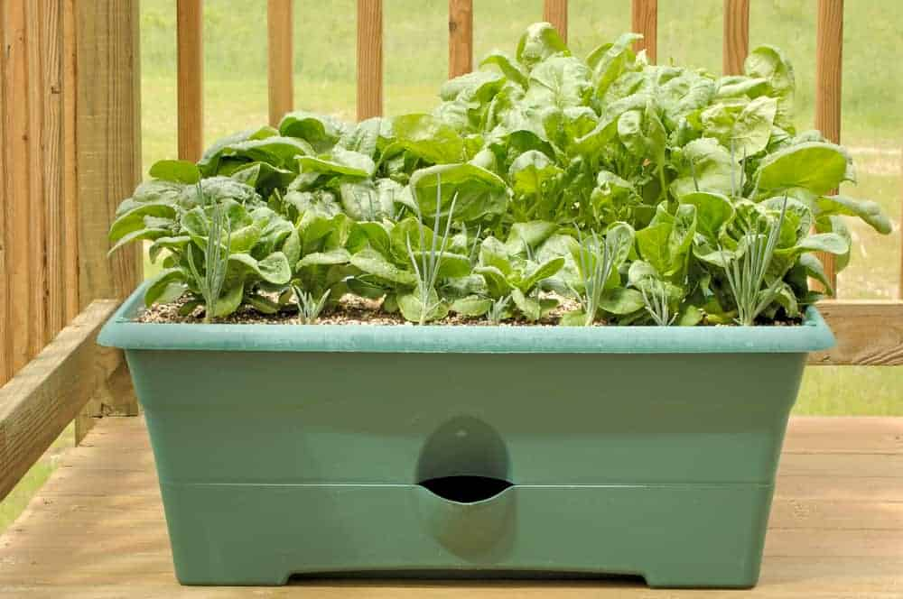 Lettuce and spinach both grow well in containers, making them perfect for your apartment balcony.
