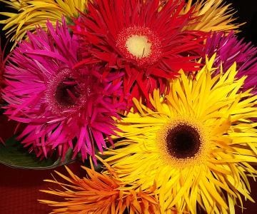 Gerber daisies are especially effective at removing pollutants from the air.