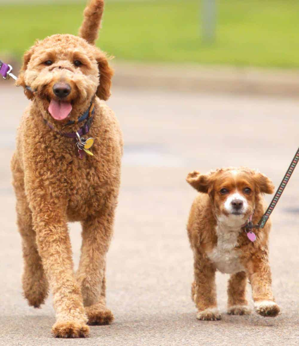 How to Introduce Pets When Moving In With Another Pet Owner - Take Dogs on a Walk