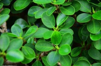 Boxwood Decoration