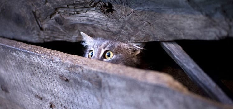 Frightened feral cat peering out