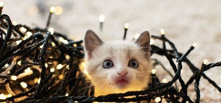 cat in christmas lights