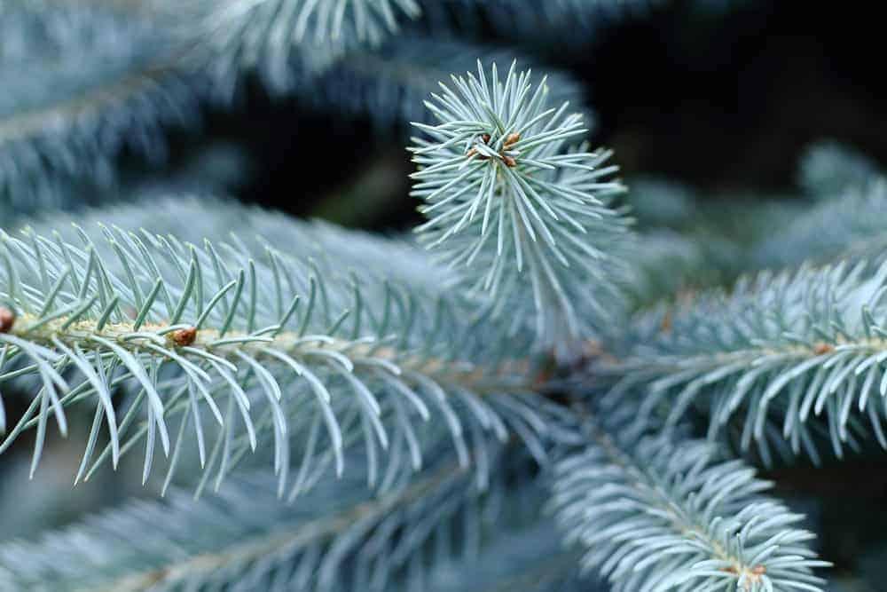 Colorado blue spruce christmas tree