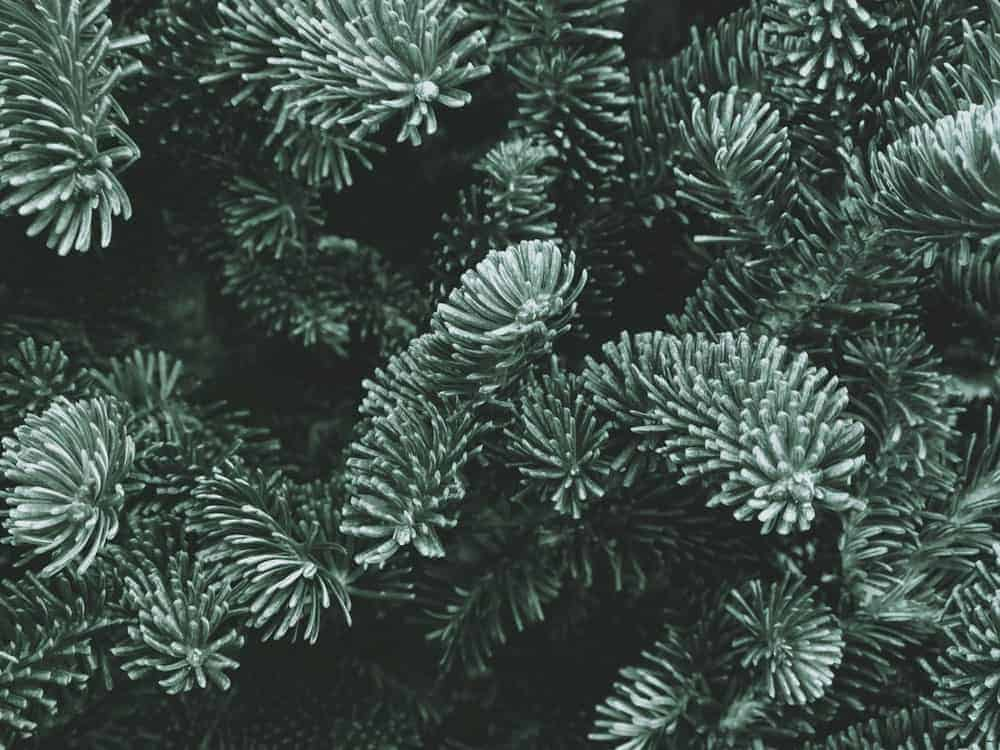 fraser fir tree branches