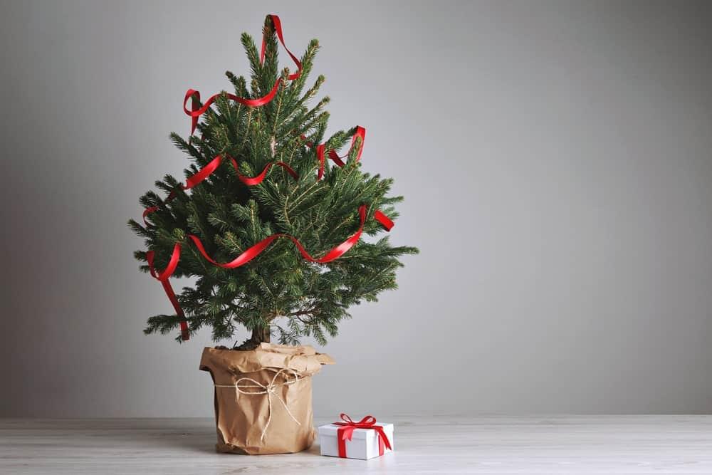 tabletop spruce christmas tree