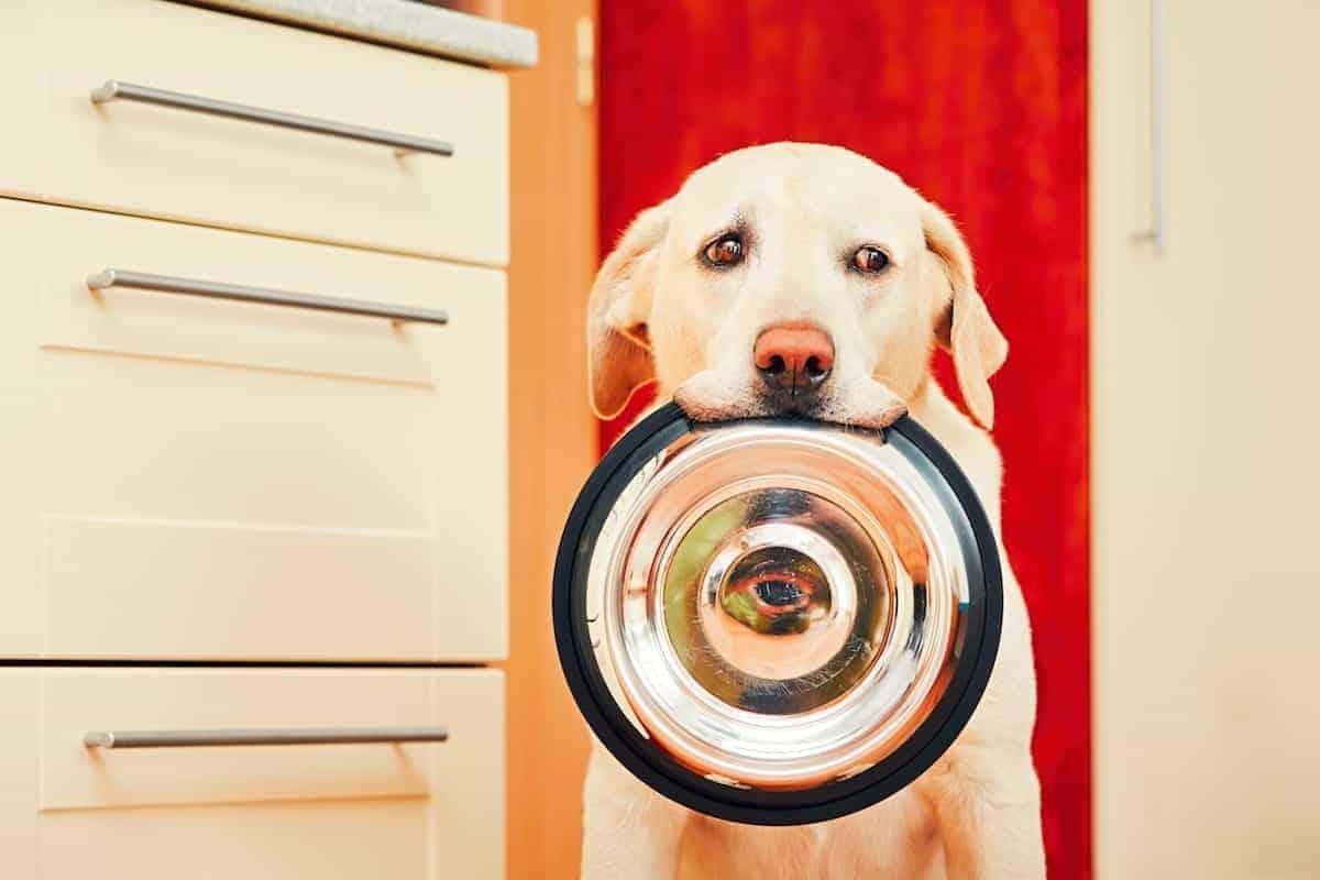 dog waiting for dinner