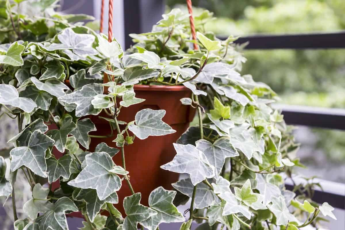 A Great Option For Air Purification English Ivy Was Shown In Nasa S Clean Study To Be Able Purify Pollutants Like Xylene Benzene
