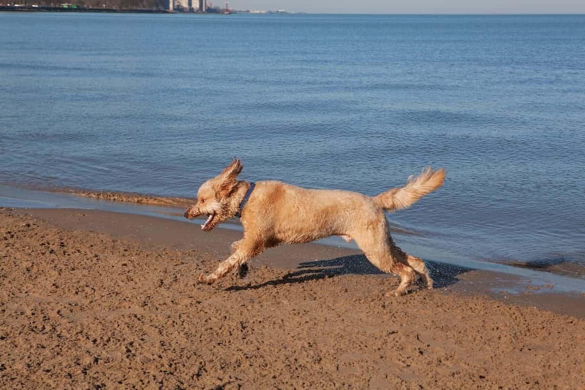 chicago montrose dog beach