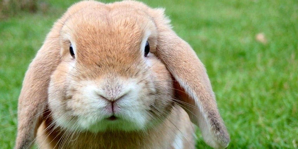 How To Raise A Rabbit In Your Apartment Apartmentguide Com