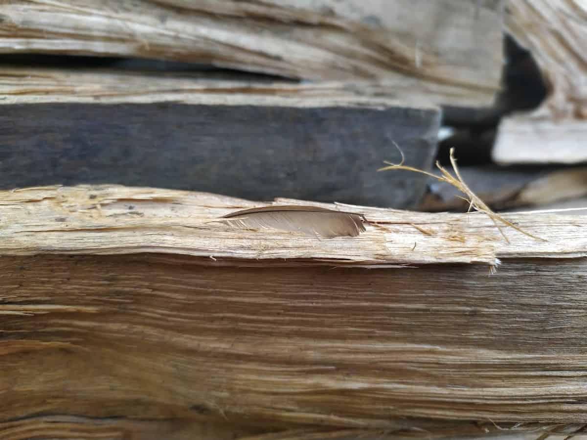 pinion wood