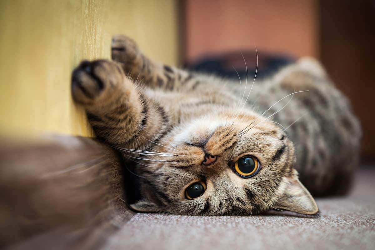 Best Cat Breeds for Your Apartment | ApartmentGuide com