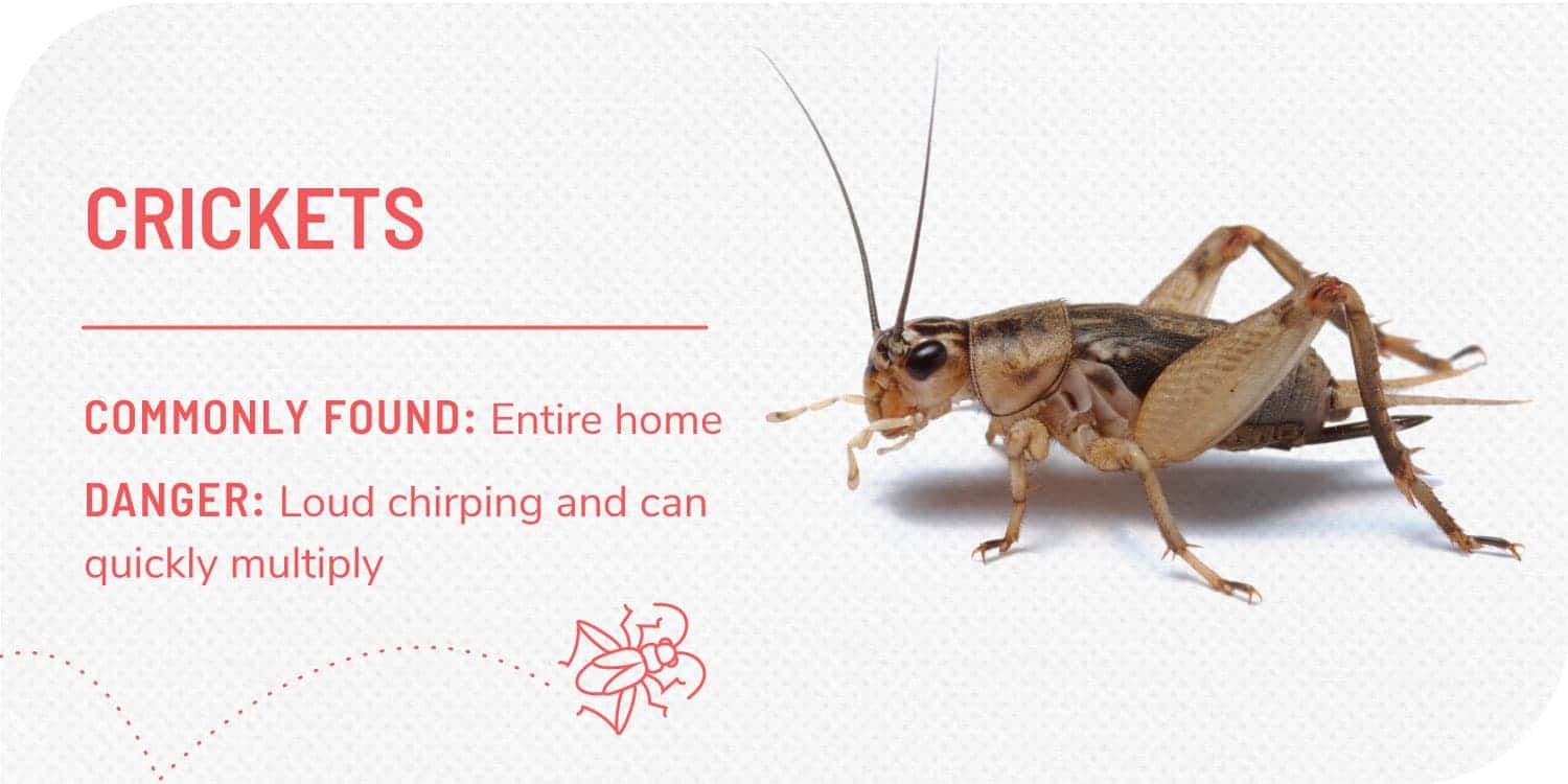 photo of a cricket and facts about crickets