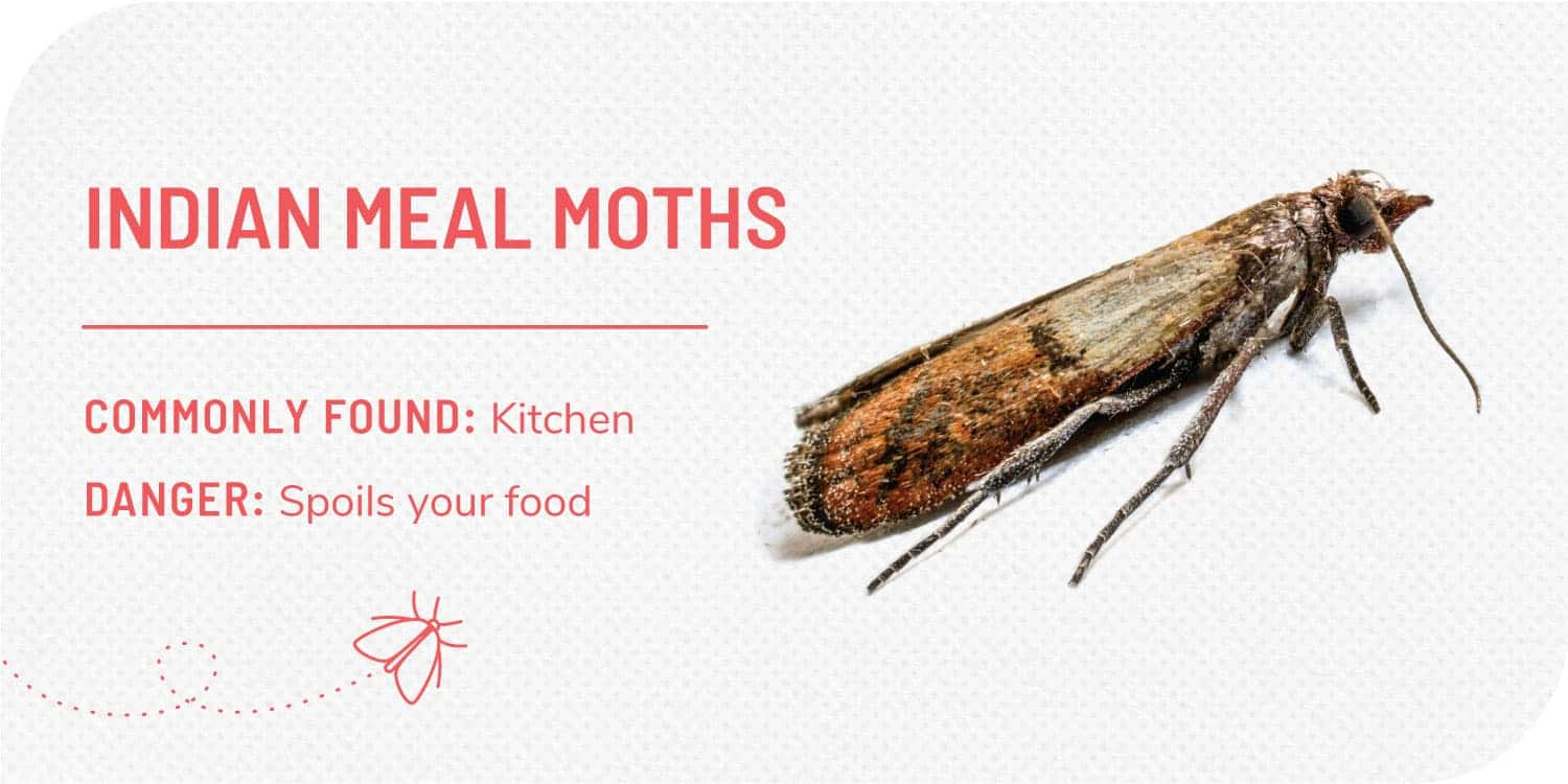 photo of indian meal moth and facts about indian meal moths