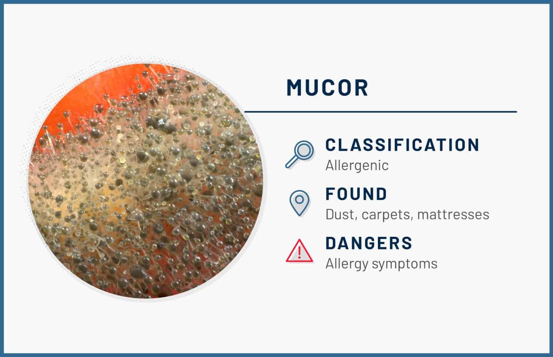 mucor mold