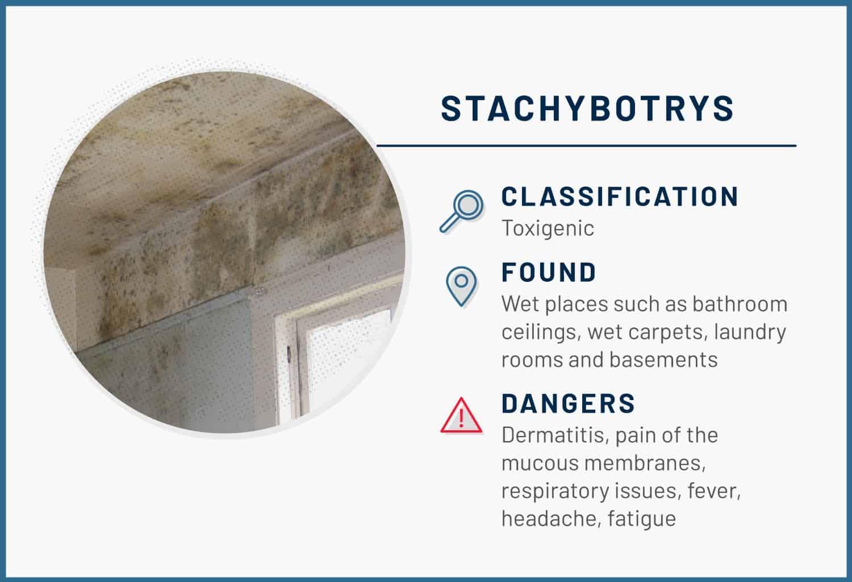 stachybotrys mold