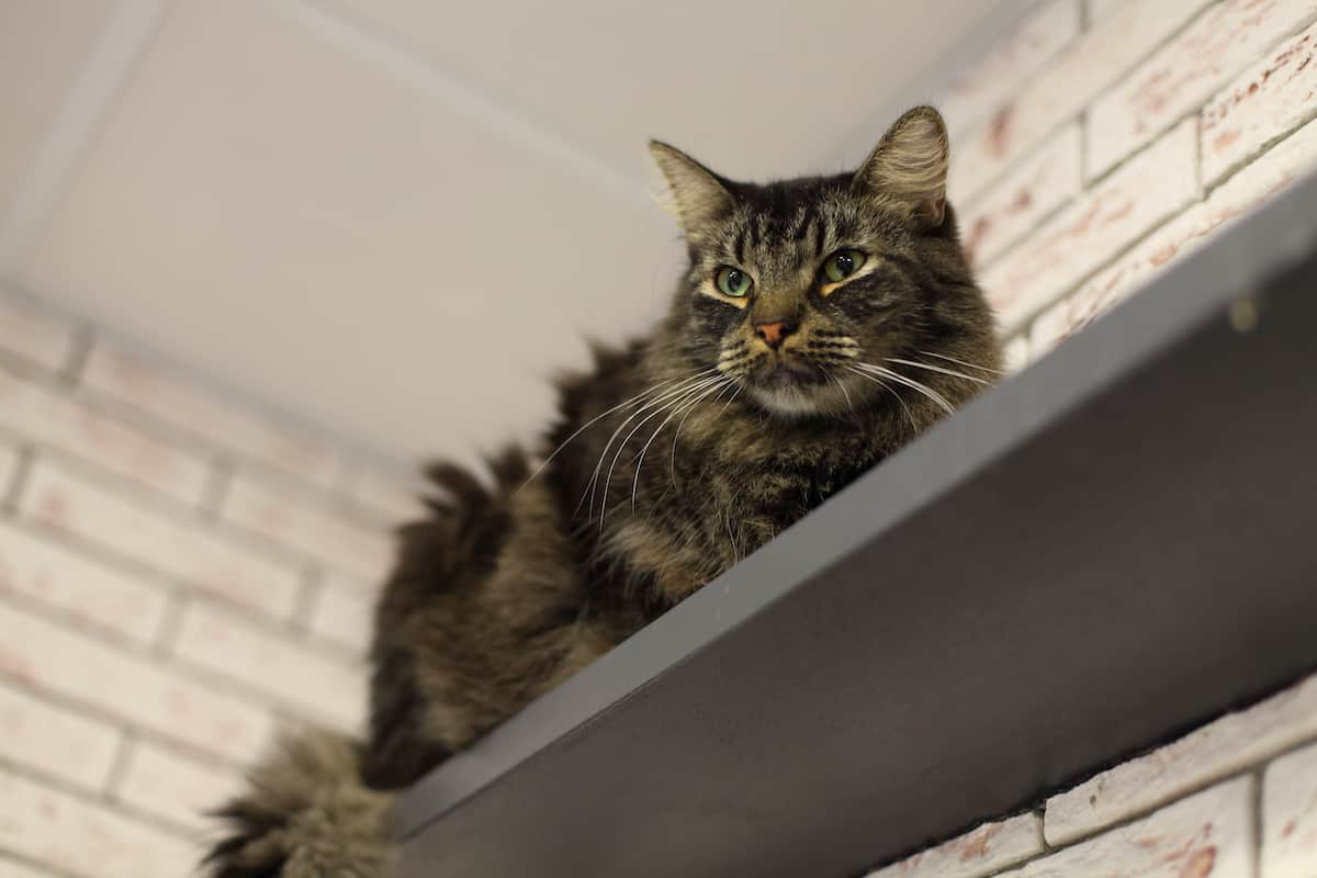 Fluffy kitty perched high up on a shelf.