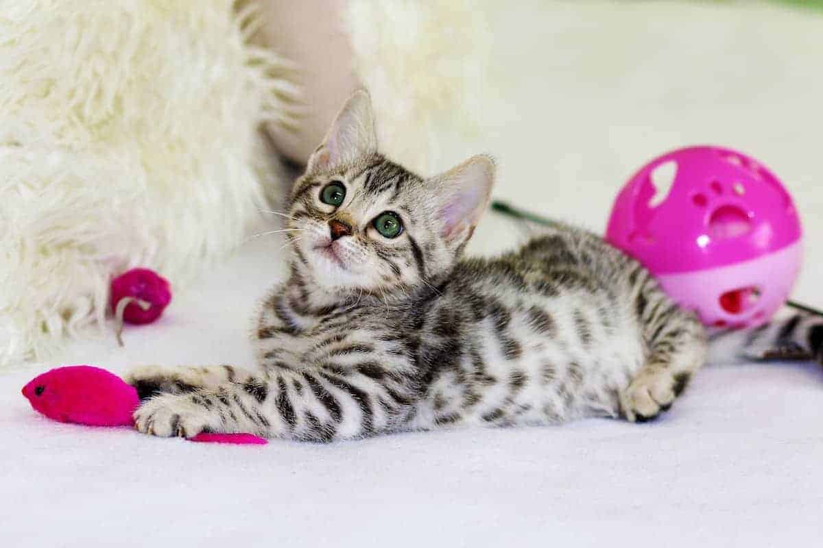 Tiny kitten surrounded by toys, including a hot pink mouse.