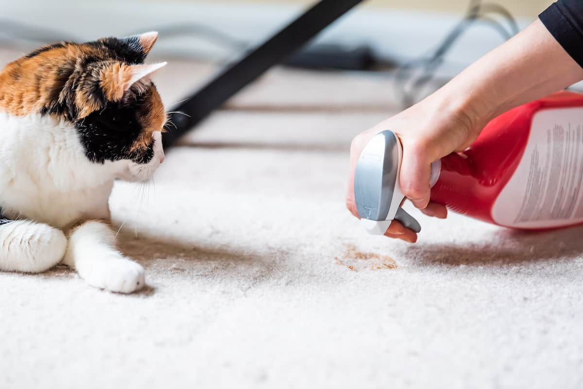 Calico cat watching their owner clean up a pet stain on the carpet