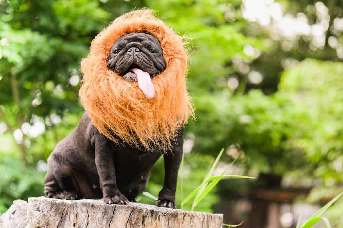 dog dressed as lion