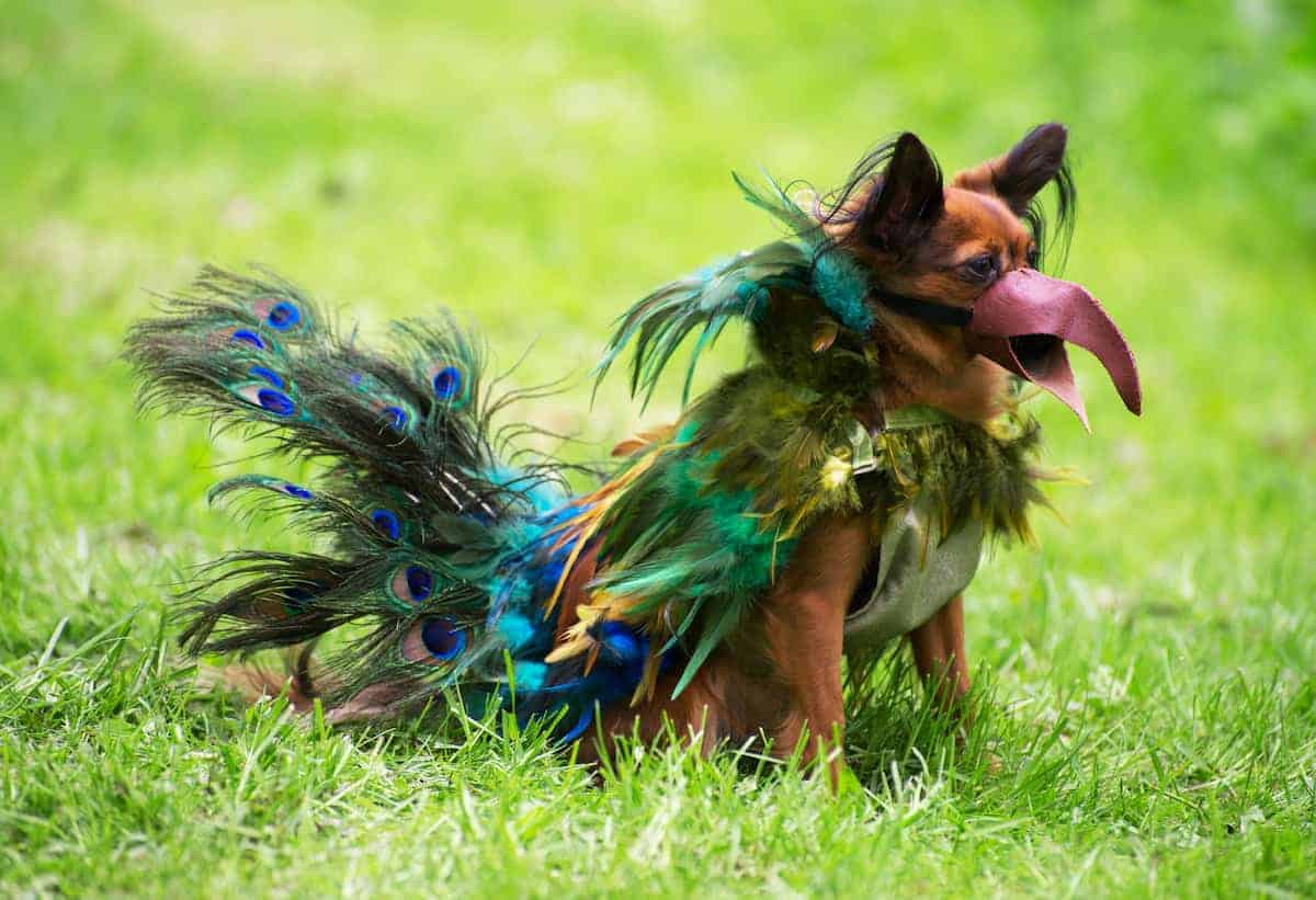 dog dressed as peacock