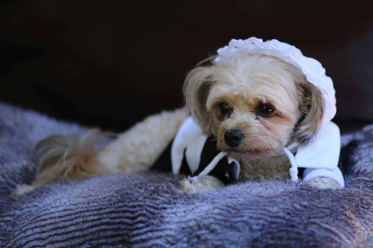 dog dressed as pilgrim