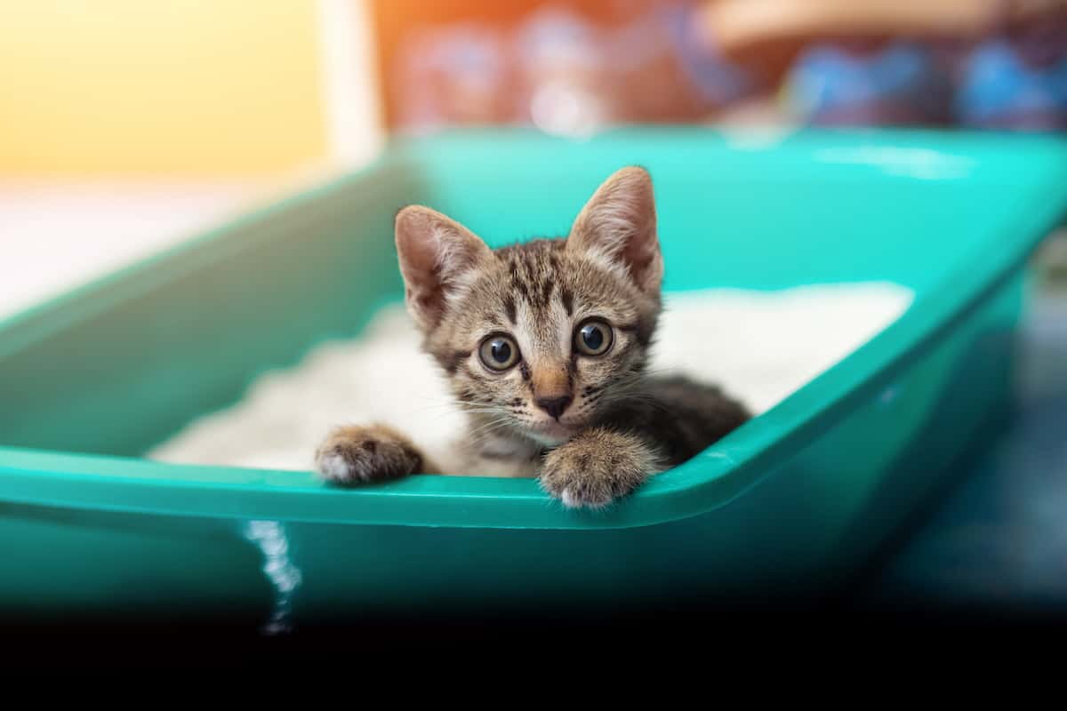 Adorable little kitten sitting in her litter box, peeking over the edge.