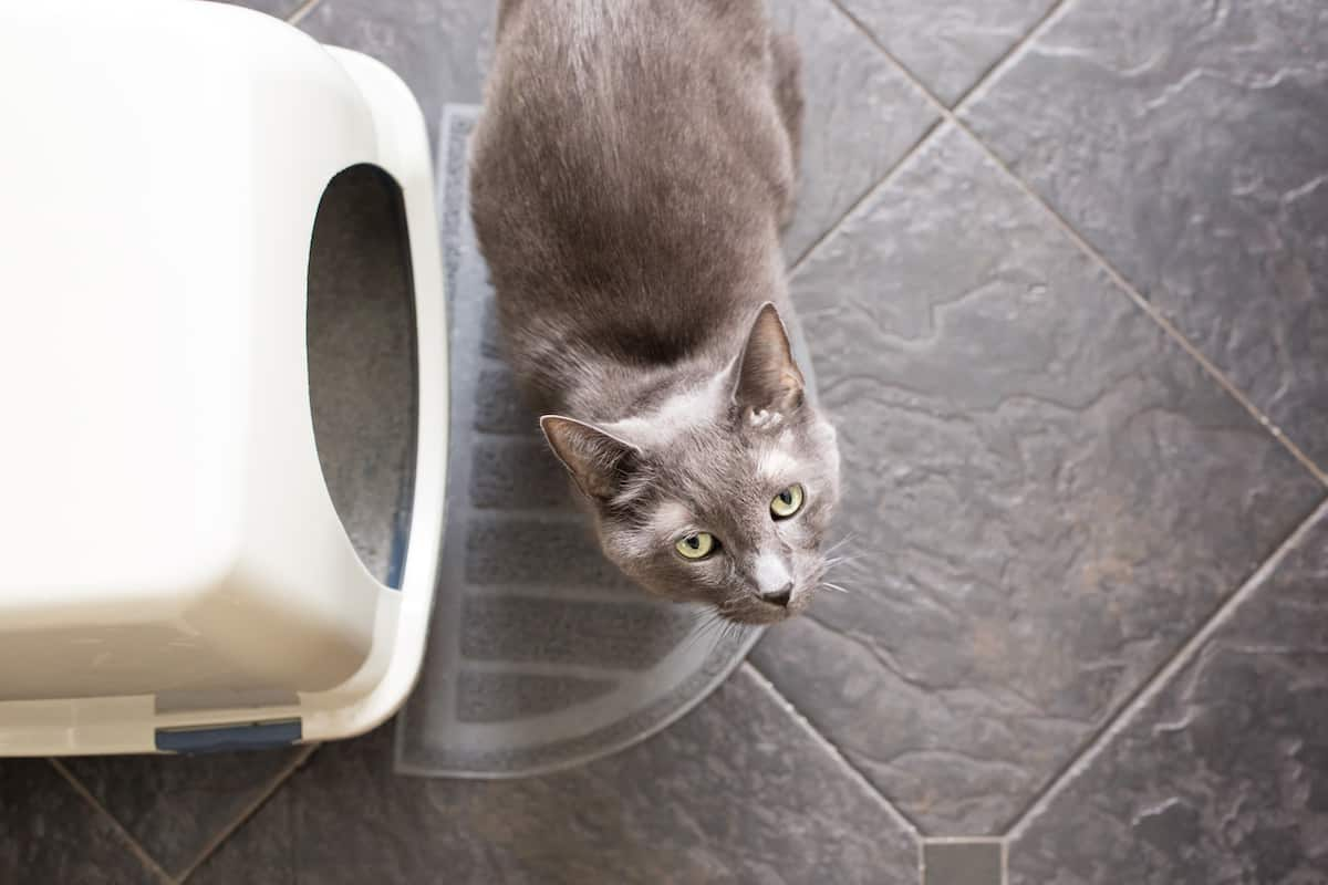 Grey cat looking up up from outside their litter box