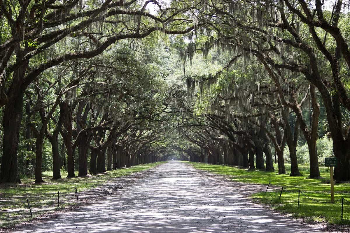 A road tree-lined on both sides with Spanish Moss.