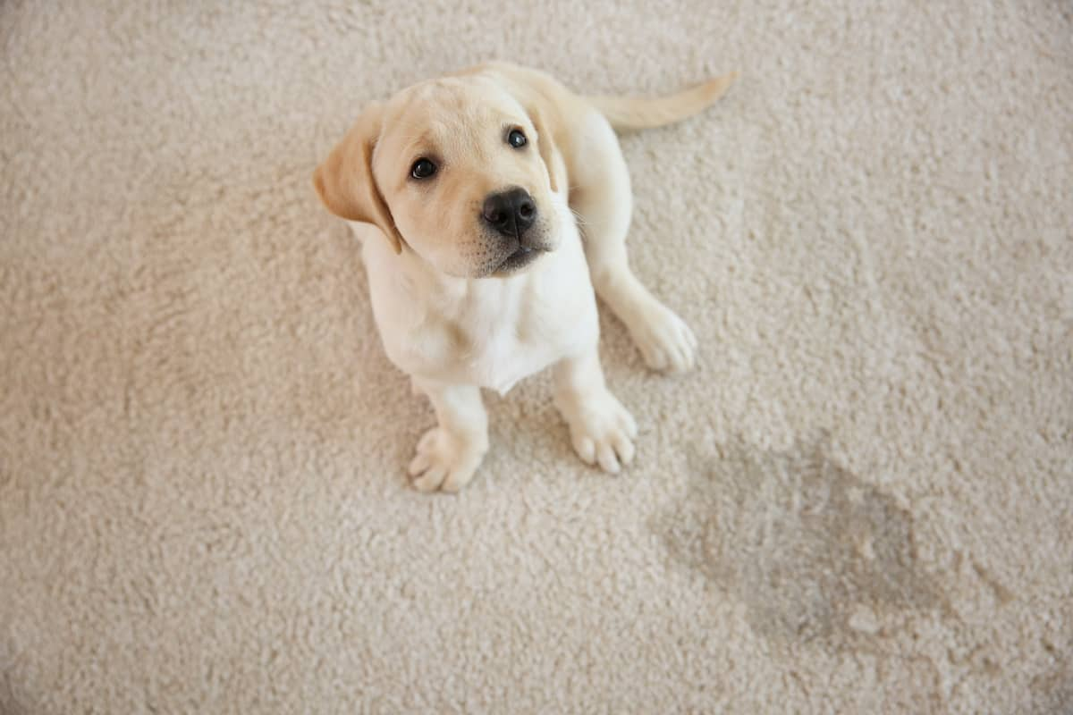 cute puppy that peed on a carpet