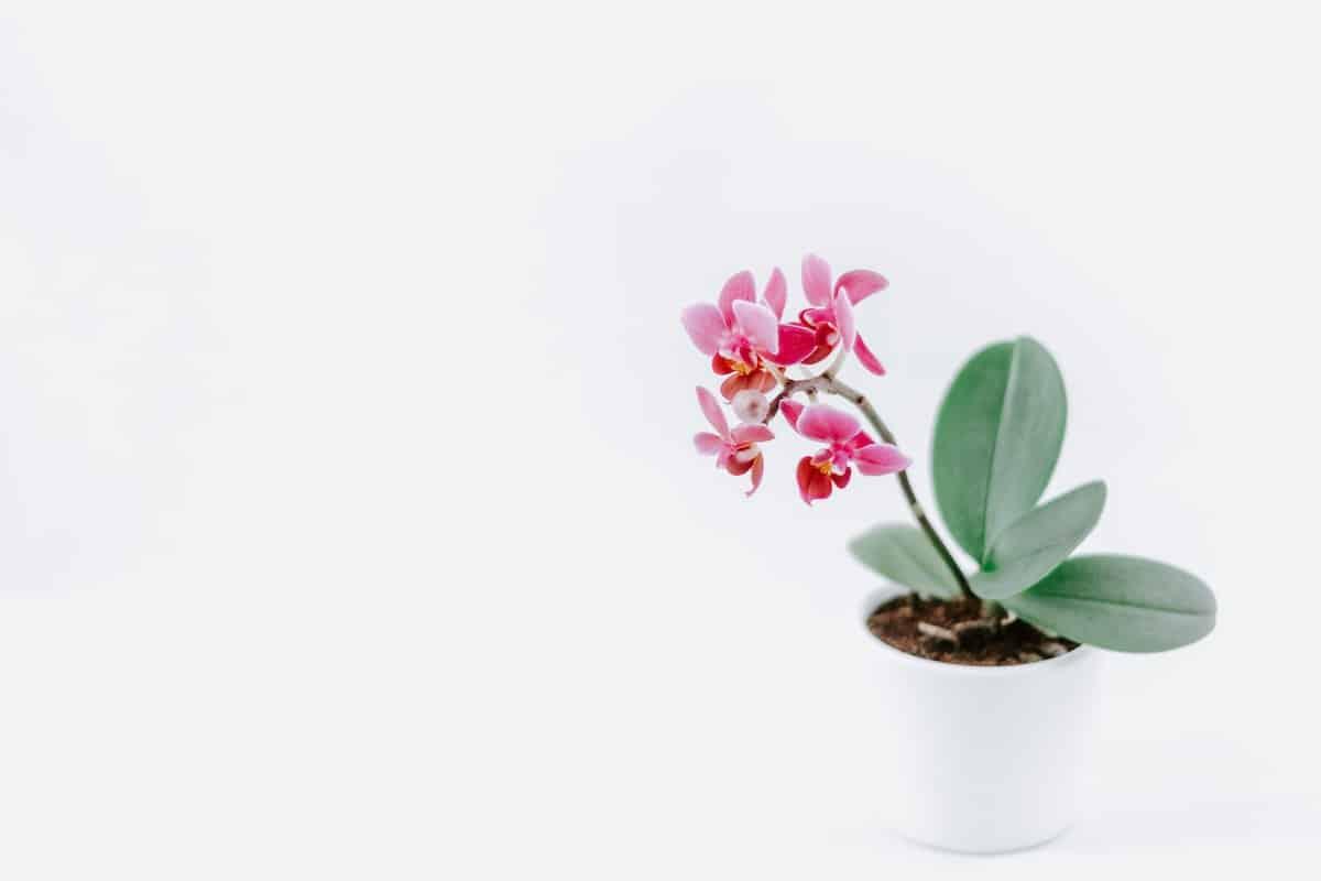 Moth orchid.