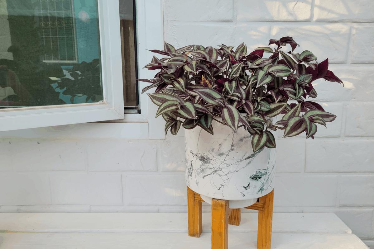 Zebrina plant.